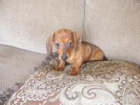 Dotty is AKC registered mini Dachshund that is looking