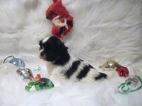 One, Beautiful, Female, Shih Tzu puppy available for