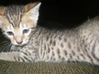 I have one baby bengal kitten left!!!! They were 8