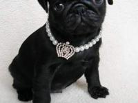 AKC Pug puppies, available one black male, sold with