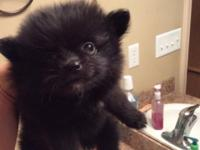 One female Pomeranian black and pretty. Looking for her