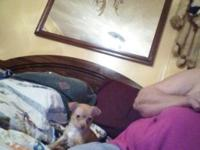 I HAVE ONE CKC FEMALE CHIHUAHUA FOR SALE SHE IS GOLDEN