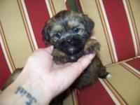 Cute little shorkie boy for sale last one out of the