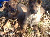 ONE Female CKC German Shepherd Puppy. Complete blooded.