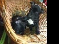adorable petite little girl, black with brindle