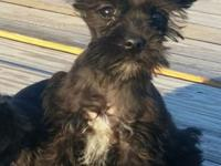 I have one female CKC registered Miniature Schnauzer