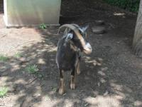 I have one fiber goats left for sell the price is