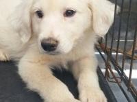 I have one female CKC registered Great Pyrenees puppy