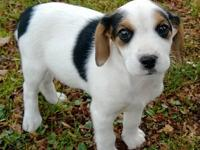 We have one Cheagle puppy left and he is ready for his