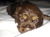 One female cocker spaniel puppy, chocolate sable.