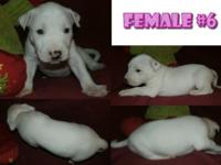 PLACE: Sylva NC- CKC BULL TERRIER male for sale $700