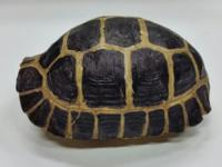 """This is a rare find. A 6"""" Male Indonesian Forsten's"""