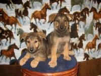 """Good Looking Purebred German Shepherd Puppies ~"