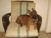 """Awesome Purebred German Shepherd Male Puppy ~"