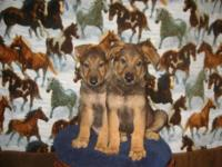 """Good Looking Purebred German Shepherd Pups ~ East/West"