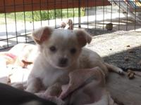 I have 1 female tea cup chihuahua puppy left out of 3.