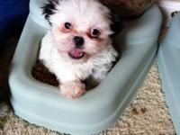 We have one girl left! Teddy bear pups are great - easy