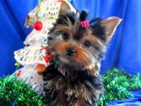 This precious Teacup Yorkie Girl Puppy is named Miette