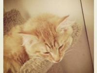 One Year old pure bred maine coon male cat. He is an