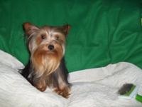 One year yorkie for sale asking $850.00 with no papers