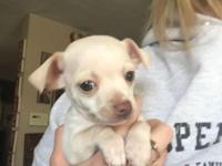 ONE ABSOUTELY BEAUITFUL CHIHUAHUA PUPPYFOR SALE!!!