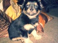 Adorable black and tan long haired female Chihuahua. 10