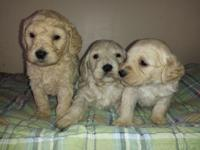 I have 1 male mini goldendoodle puppies available. He