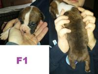 Adorable!!! I have 1 female (flashy brindle with