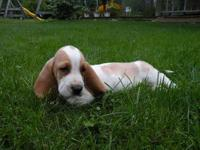 We have for sale 2 adorable purebred Basset Hound
