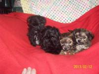 2 male shihtzu/bichon/yorkie that will be ready on feb