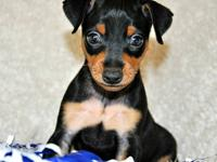 Only have 2 puppies left! One black & tan male, and one