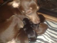 2 brown male chihuahua left taking deposits for