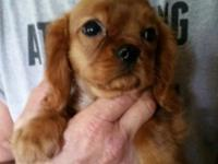 2 male ruby cavalier king charles spaniel pups, 14