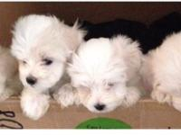 2 toy maltipoo puppies 1 female 1 male 3 months old up
