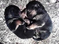 We have 3 pups left for sale. Pups were born October 1,