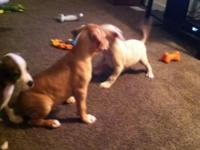 I have 3 male American Pit Bull Terrier puppies left.