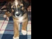 just 1 beautiful border-aussie young puppy is still