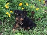 I have one male yorkie puppy left that is looking for a