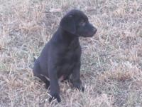 Lab and Golden crosses. I have one black male left. He