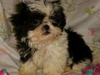 We have one tiny male half imperial CKC Shih-tzu pup