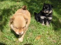 @ ,8 week old sable male pom puppies left they are