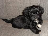 we have one male and one female shorkie pup (registered