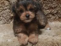 ONLY ONE FEMALE LEFT PARTI-YORKIE, SHE'S SUPER CUTE AND