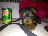 Only Two Yorkie Puppies Left. Adorable Yorkshire