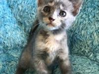My story Oona is a female, dilute gray Tortishelle