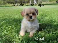 Opal is gorgeous Solid Cream with Blue points! She is a