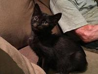 Opal's story Opal is a magnificent black lap kitten who