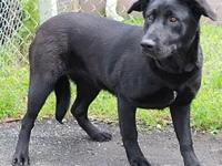 Opal's story Opal is a very sweet, giant Lab mix puppy