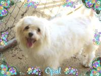 Opal is a 6 year old Maltese/Poodle mix looking for her