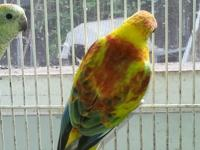 Gorgeous redrump pair. The male is opaline split for